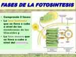 fases de la fotosintesis1
