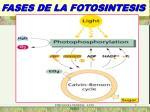 fases de la fotosintesis2