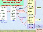 fotorespiracion funci n de la rubp carboxilasa oxigenasa