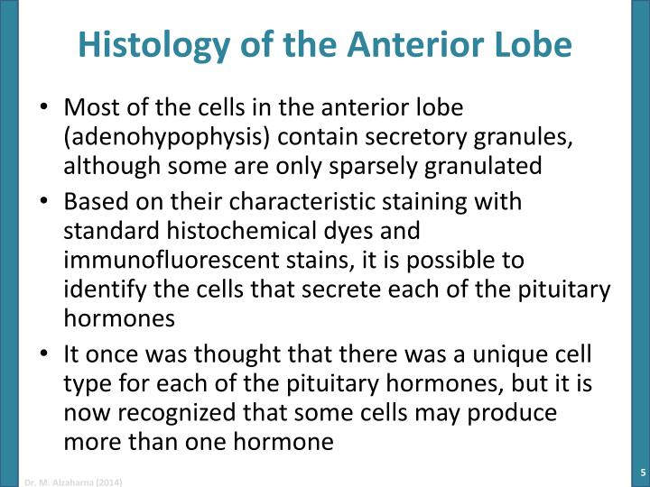 what is the anterior lobe of the pituitary gland