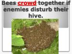 bees crowd together if enemies disturb their hive