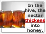 in the hive the nectar thickens into honey