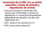 asociaci n de la cdk con su ciclina espec fica niveles de s ntesis y degradaci n de ciclinas
