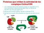 prote nas que inhiben la actividad de los complejos ciclina cdk