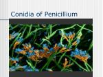 conidia of penicillium