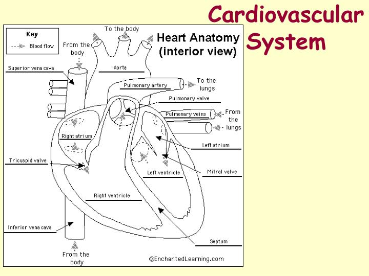 exercise 6 cardiovascular physiology worksheet Results for answers exercise 34b frog cardiovascular physiology high speed direct downloads answers exercise 34b frog cardiovascular physiology review sheet exercise 34 a frog cardiovascular [full version.