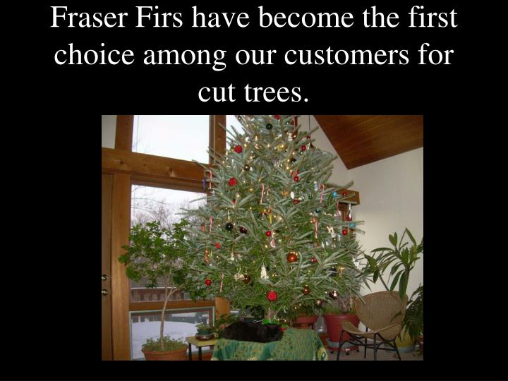 fraser firs have become the first choice among our customers for cut trees n.
