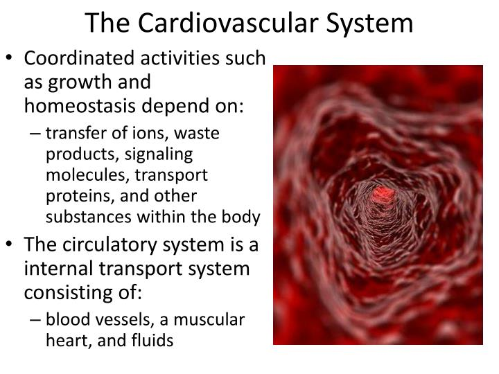 homeostasis and cardiovascular system essay example