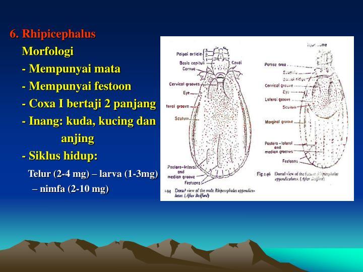 6. Rhipicephalus