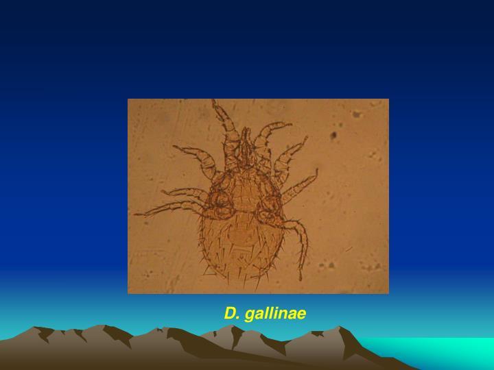 D. gallinae