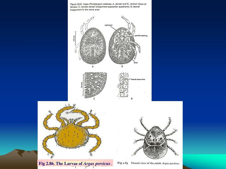 Fig 2.86. The Larvae of