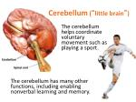 cerebellum little brain