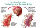 functions of the brain t he motor and sensory strips