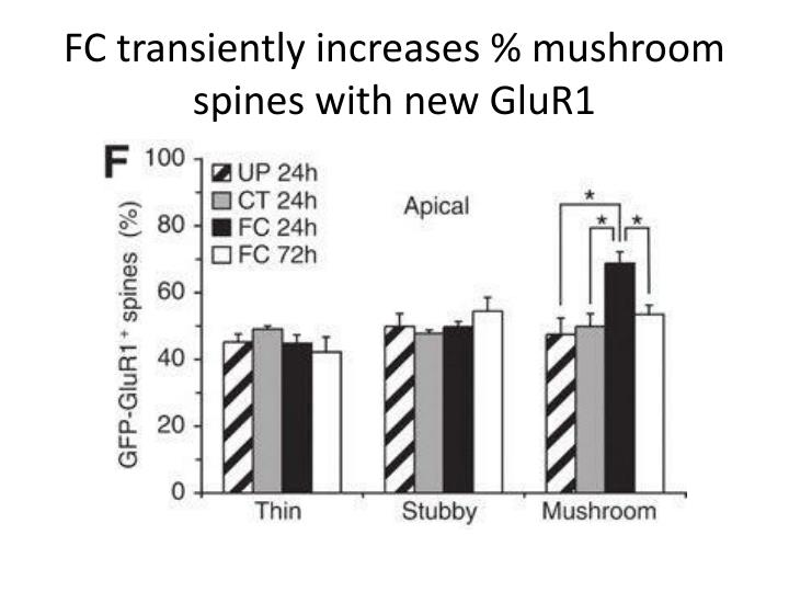 FC transiently increases % mushroom spines with new GluR1