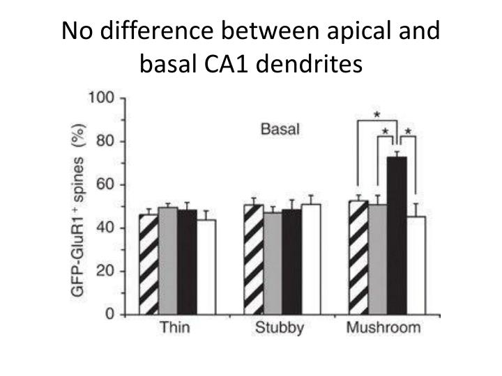 No difference between apical and basal CA1 dendrites