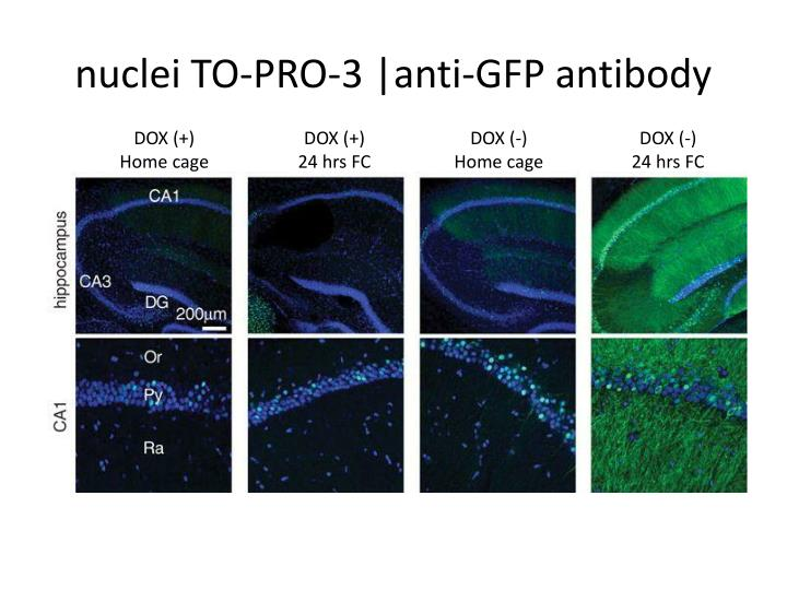 Nuclei to pro 3 anti gfp antibody