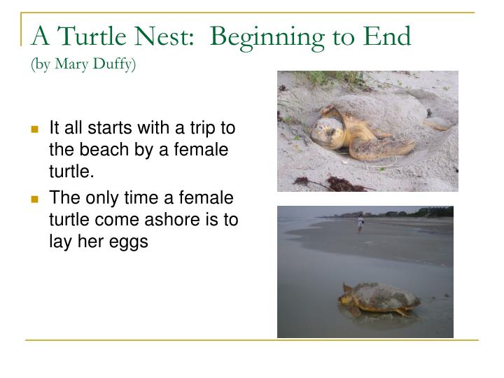 a turtle nest beginning to end by mary duffy n.