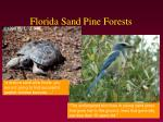 florida sand pine forests