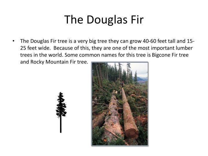 The Douglas Fir