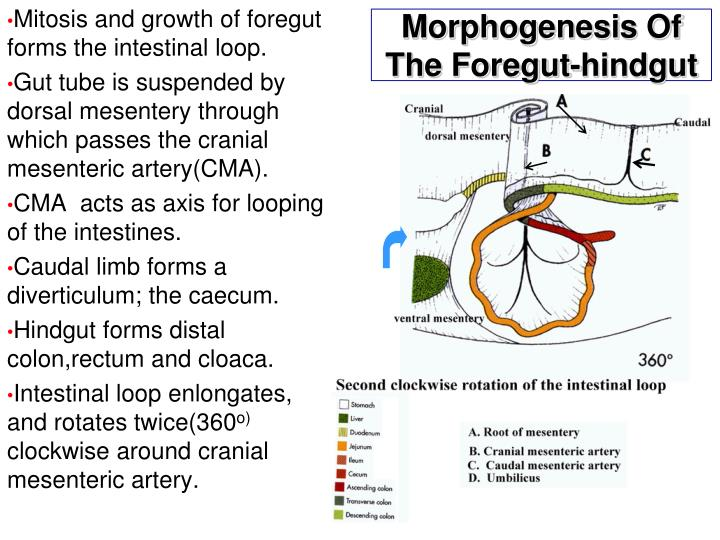 Morphogenesis Of