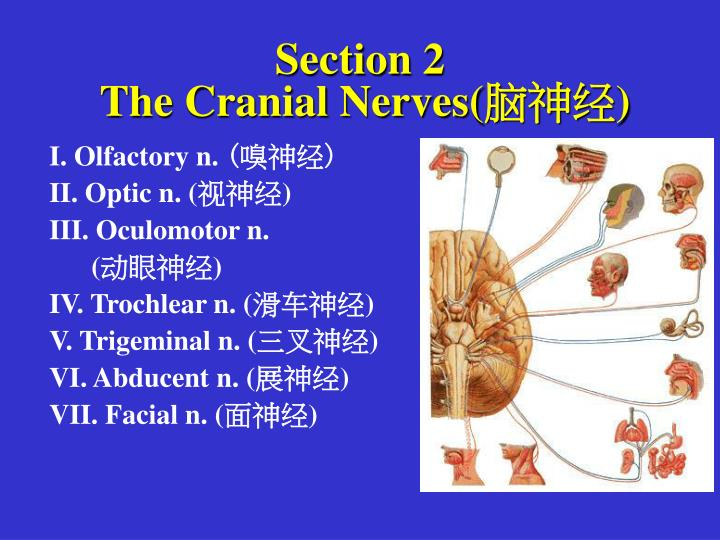 section 2 the cranial nerves n.