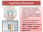 superficial attachment