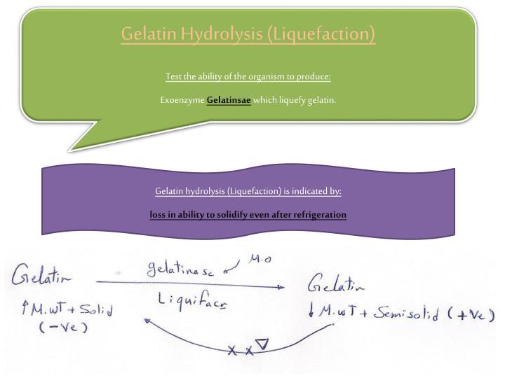 Gelatin Hydrolysis (Liquefaction)