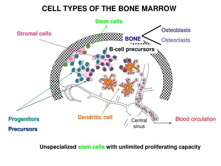 CELL TYPES OF THE BONE MARROW
