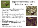 peppered moths natural selection in action
