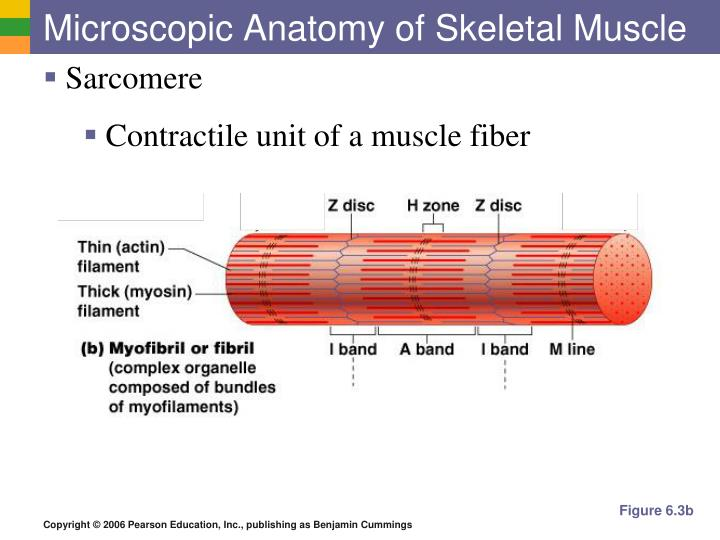 PPT - The Muscular System PowerPoint Presentation - ID:5635378