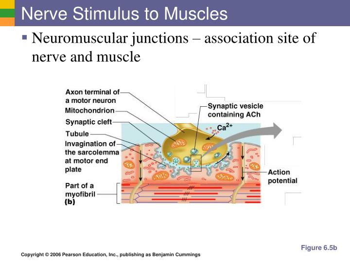 Nerve Stimulus to Muscles