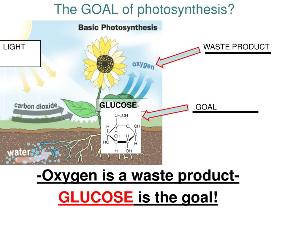 photosynthesis goal waste light ppt glucose oxygen powerpoint presentation