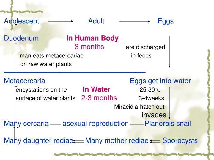Adolescent                         Adult                           Eggs