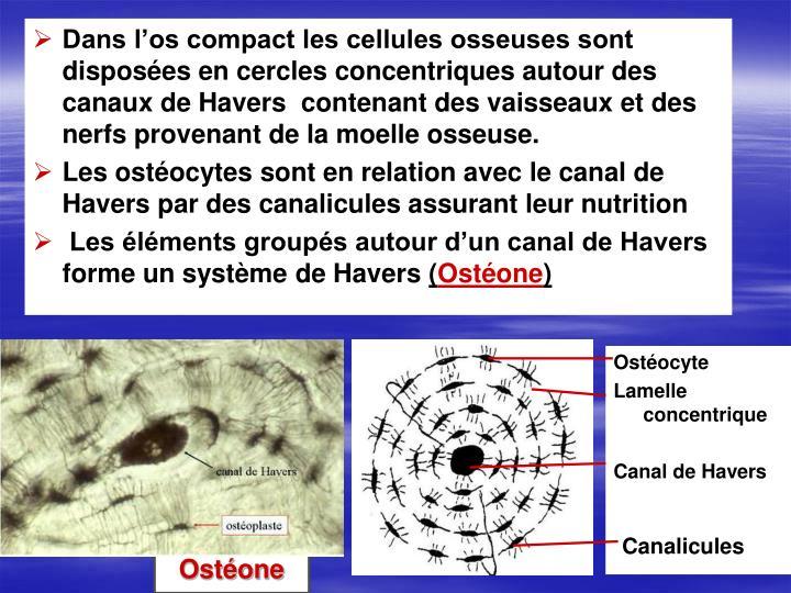 Dans l'os compact les cellules osseuses sont disposées en cercles concentriques autour des canaux de Havers  contenant des vaisseaux et des nerfs provenant de la moelle osseuse.