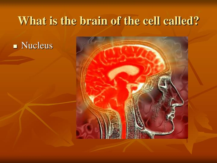 What is the brain of the cell called?