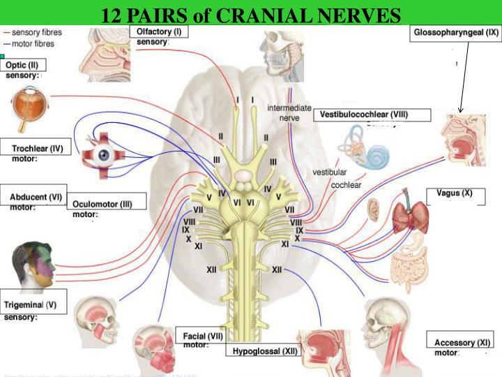 12 PAIRS of CRANIAL NERVES