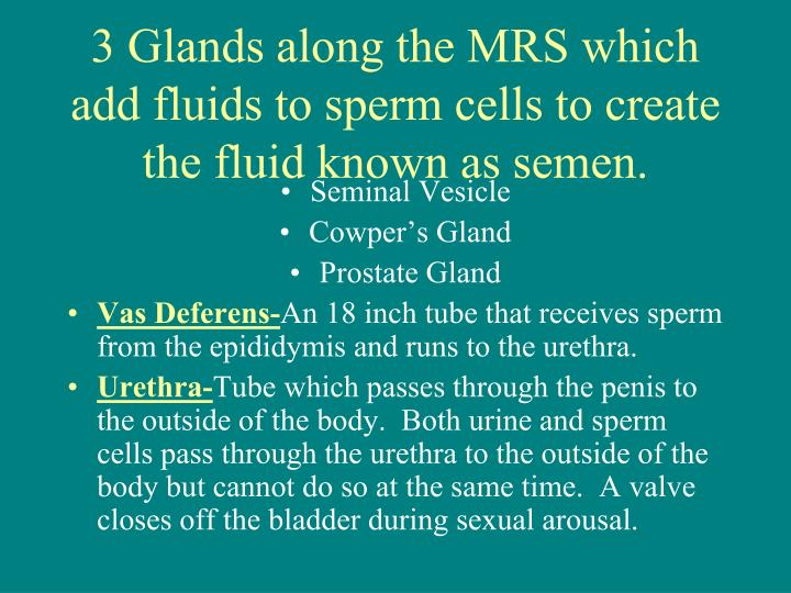 3 Glands along the MRS which add fluids to sperm cells to create the fluid known as semen.