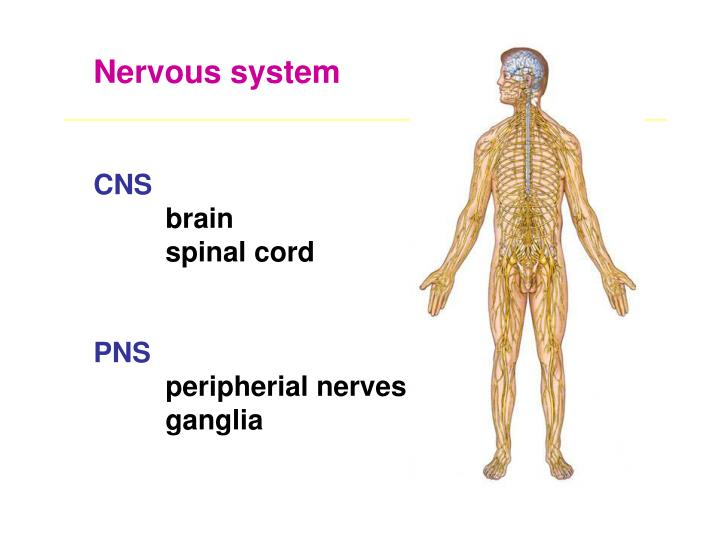 Ppt Gross Anatomy Of The Spinal Cord Dermatomes Dr Katalin