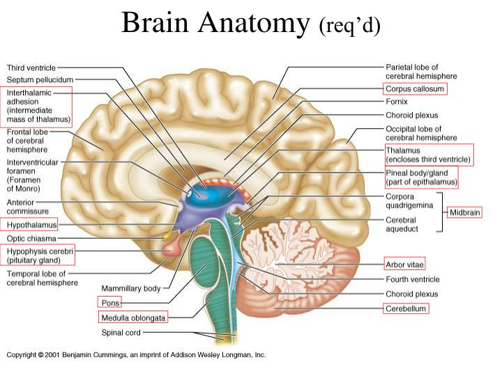 Ppt Cranial Fossa Brain And Spinal Cord Powerpoint Presentation