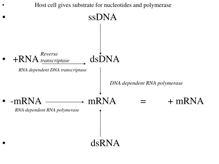 Host cell gives substrate for nucleotides and polymerase