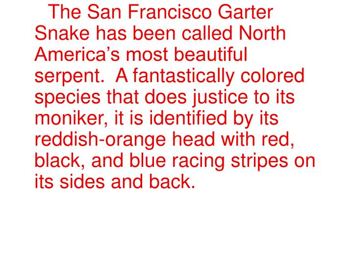 The San Francisco Garter Snake has been called North America's most beautiful serpent. A fantast...