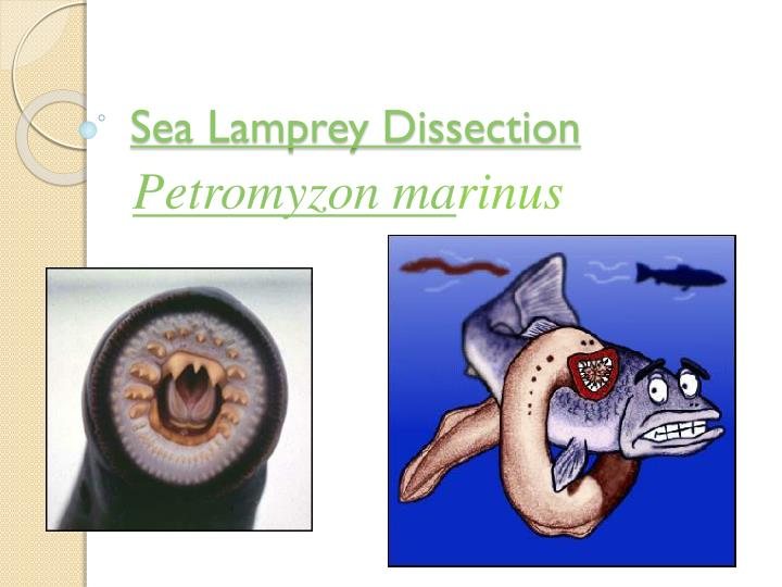 Ppt Sea Lamprey Dissection Powerpoint Presentation Id 5656206