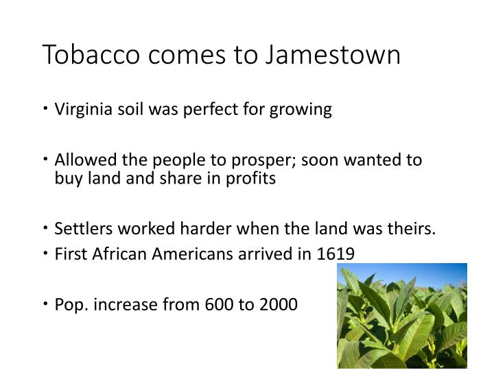 Tobacco comes to Jamestown
