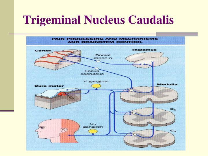 Trigeminal Nucleus Caudalis