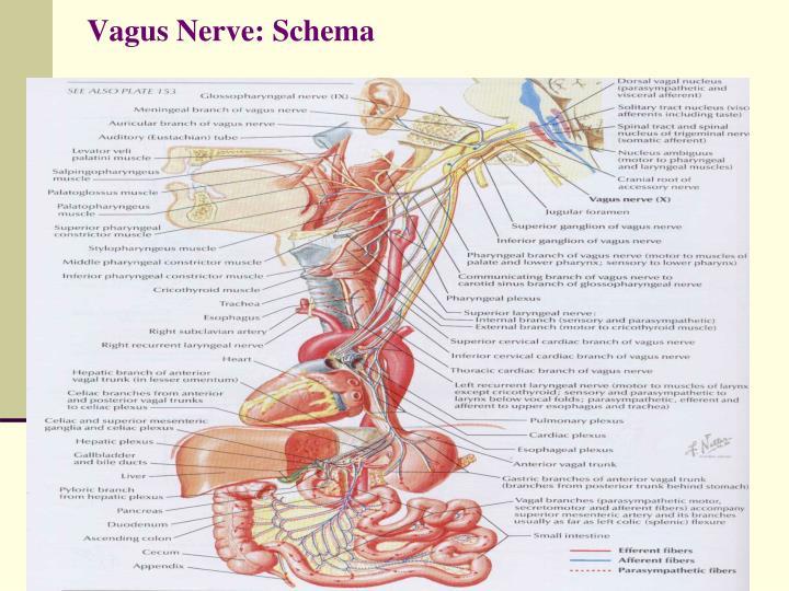 Vagus Nerve: Schema