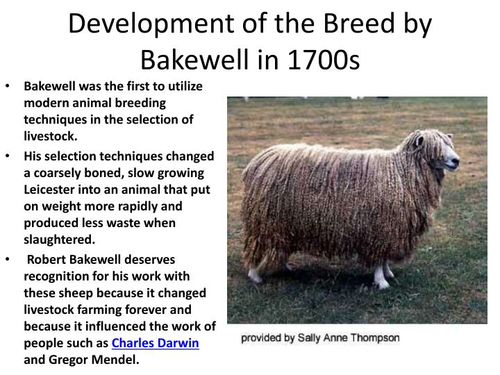 Development of the Breed by Bakewell in 1700s
