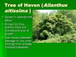 tree of haven ailanthus altissima