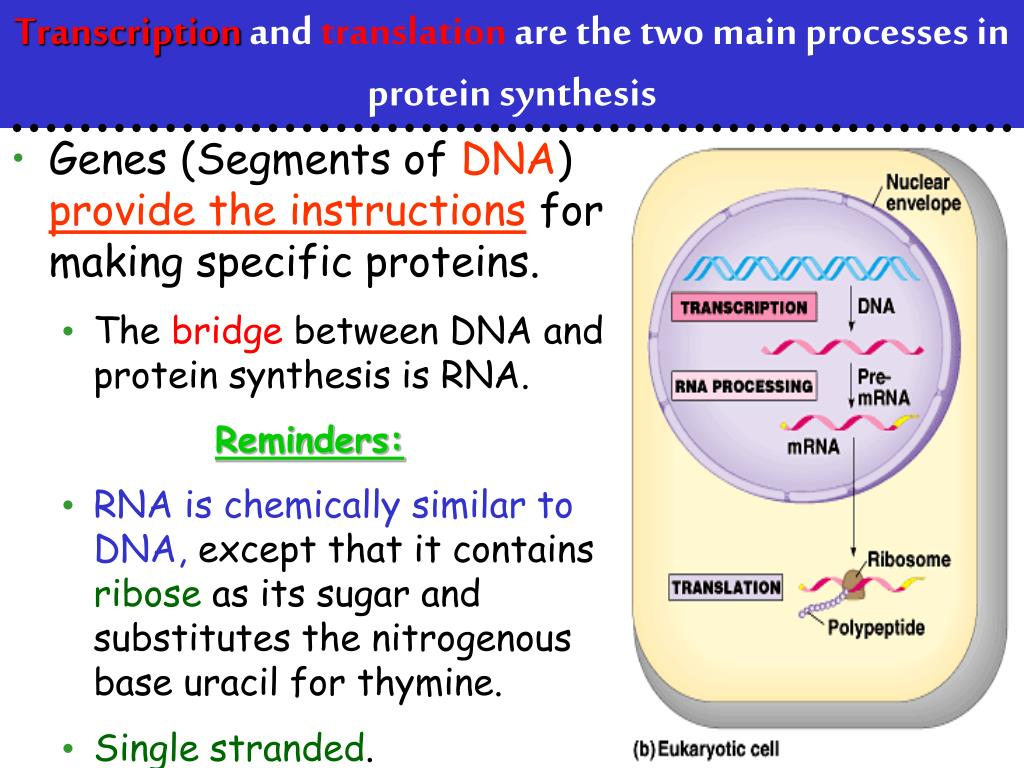 PPT - From Gene to Protein PowerPoint Presentation - ID:5682477