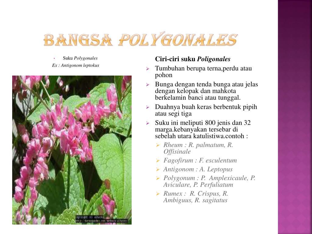 Ppt Tumbuhan Dikotil Powerpoint Presentation Free Download Id 5683762