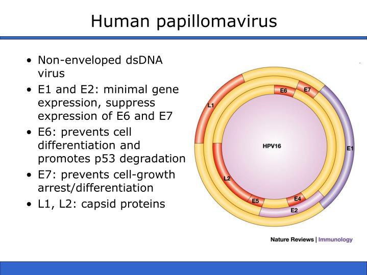 Human papillomavirus1